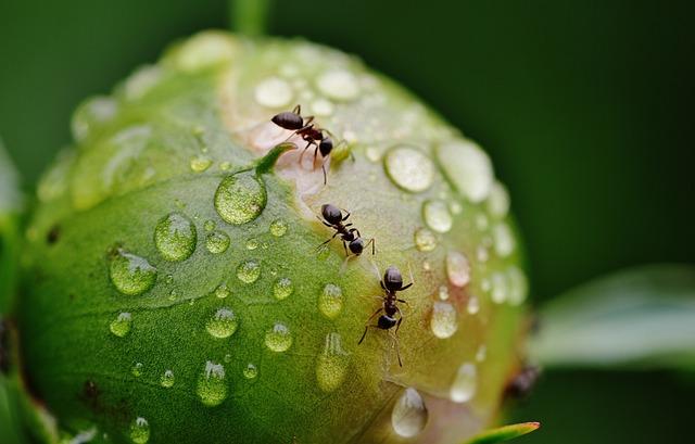Peony, Bud, Ants, Rain, Drip, Raindrop, Nature, Macro