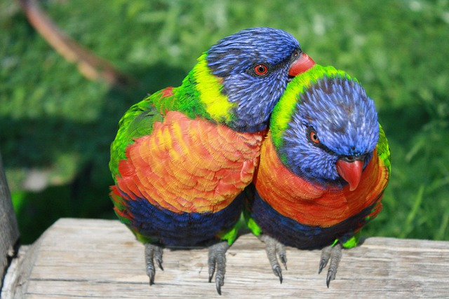 Rainbow Lorikeet, Parrots, Lorikeet, Exotic Birds