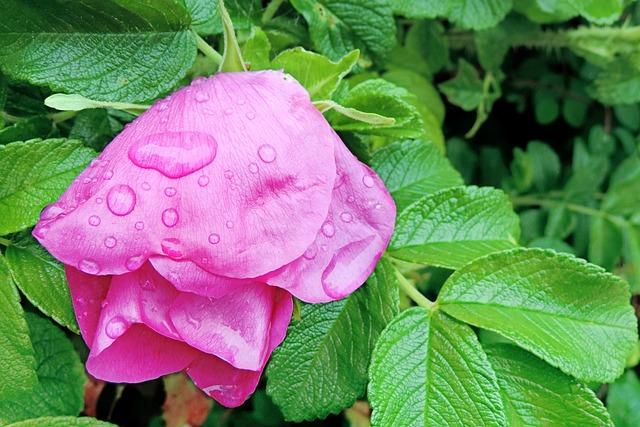 Blossom, Bloom, Wild Rose, Raindrop, Pink