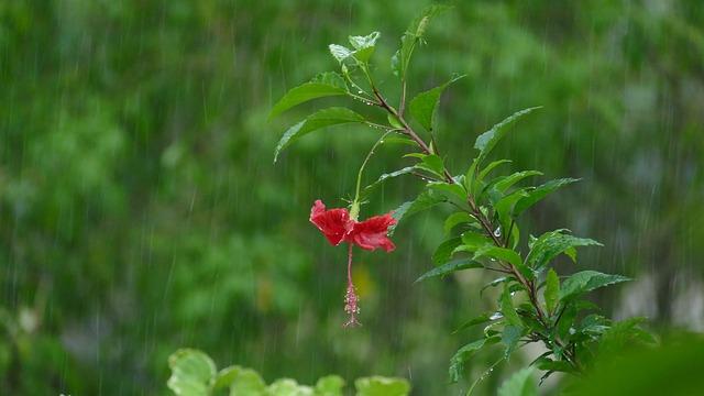 Rain, Hibiscus, Blossom, Bloom, Raindrop