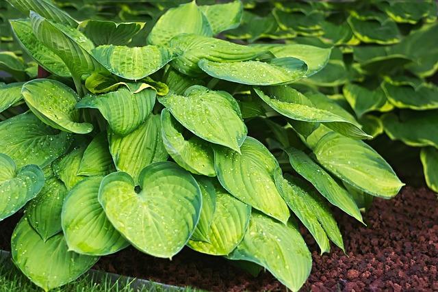 Plantain Lily, Yellow Green, Raindrop, Hosta