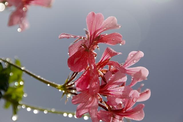 Geranium, Flower, Red Flower, Plant, Red, Raindrop