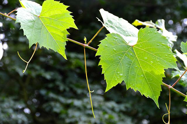 Leaves, Vine Leaves, Entwine, Raindrop, Abendstimmung