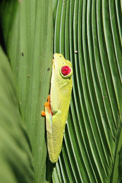 Red-eyed Tree Frog, Frog, Costa Rica, Rainforest, Green