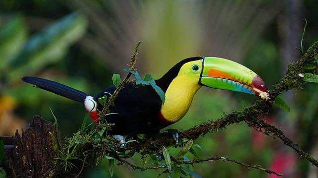 Keel Billed Toucan, Costa Rica, Bird, Rainforest
