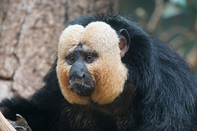 Weisskopfsaki, Male, Rainforest, Monkey