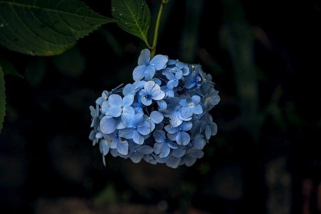 Hydrangea, Kamakura, Flowers, Rainy Season
