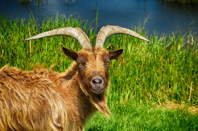 Goat, Billy Goat, Cute-goat, Billy-goat, Animal, Ram