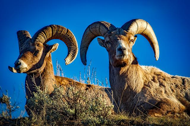 Bighorn, Sheep, Rams, Wildlife, Animals, Pair, Horns