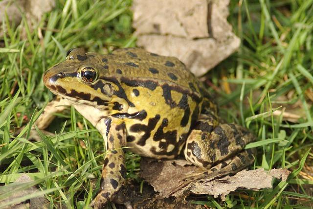 Frog Pond, Rana Esculenta, Water Frog, Frog, Amphibian