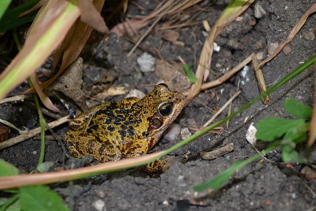 Frog, Amphibians, Common, European, Rana Temporaria