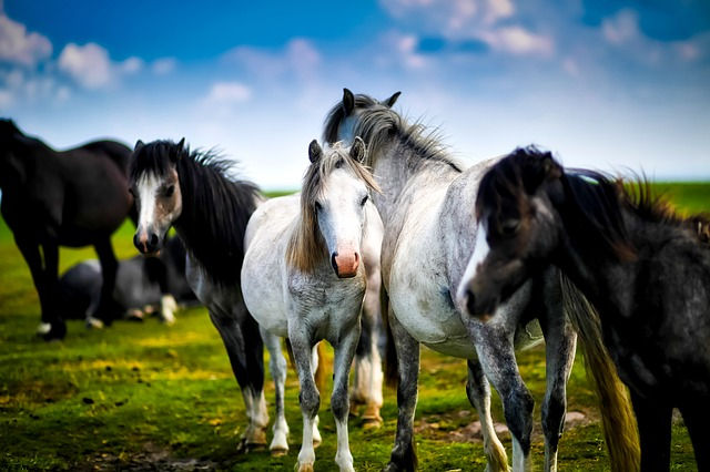 Horses, Horse, Herd, Farm, Ranch, Rural, Country
