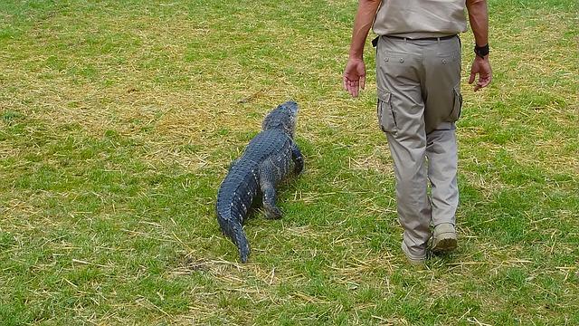 Crocodile, Alligator, Ranger, Saltwater Crocodile