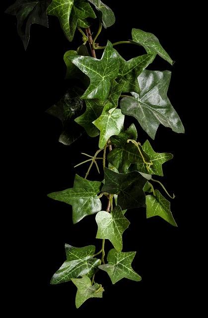 Ivy, Plant, Rank Growths