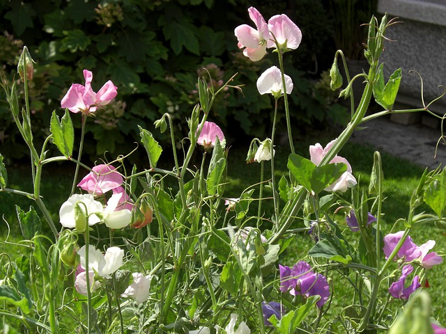 Vetches, Vetch, Flower, Ranke, Flower Garden, Flora