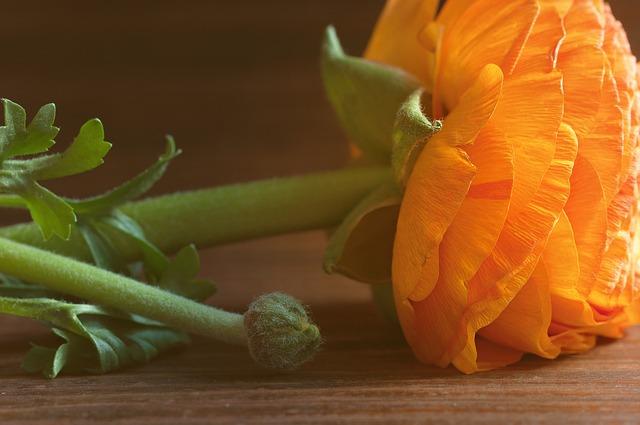 Ranunculus, Flower, Orange, Orange Flower, Blossom