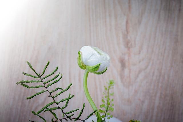 Ranunculus, Flower, White, White Spring Flower