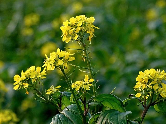 Oilseed Rape, Rape Blossom, Field Of Rapeseeds, Yellow