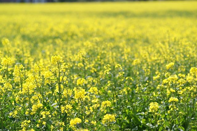 Spring Meadow, Rape Blossom, Yellow, Bright
