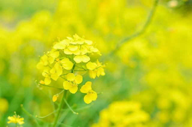 Natural, Plant, Flowers, Rape Blossoms, Yellow, Spring