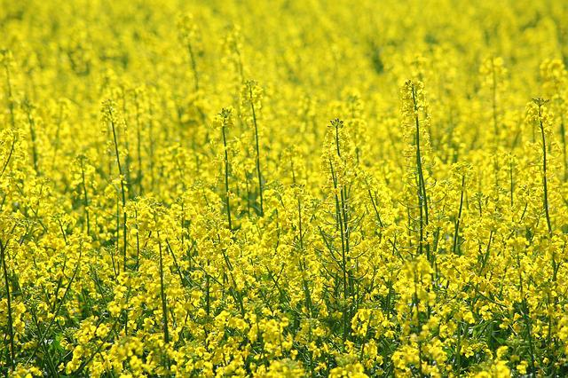 Rapeseed, Canola Field, Blooming Rapeseed