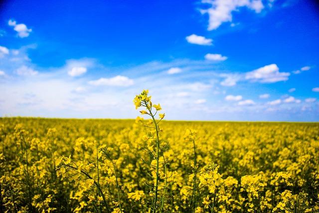 Field, Macro, Nature, Rapeseed, Sky