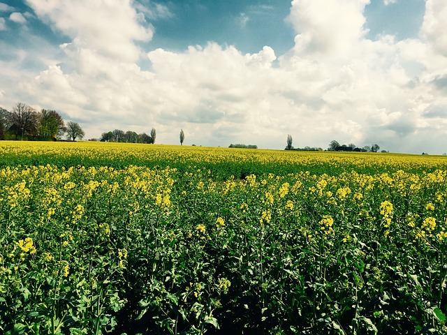 Rapsmark, Skåne, Spring, Yellow, Field, Summer