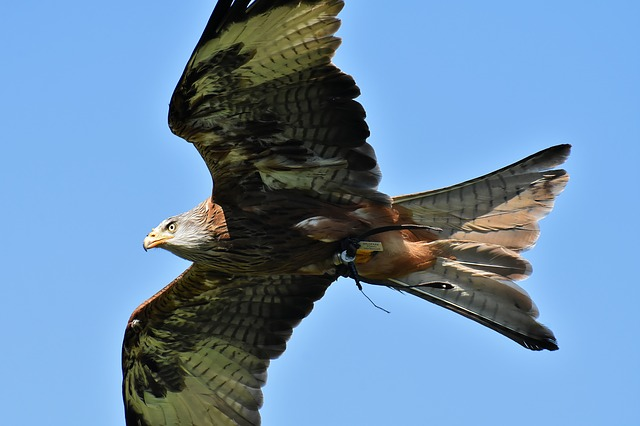 Red Kite, Milvus Milvus, Animal World, Raptor