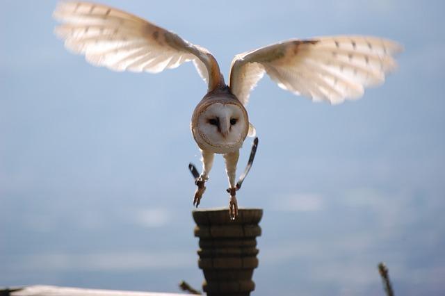 Animals, Owl, Bird, Nature, Raptor, Snow Owl, Snowy Owl