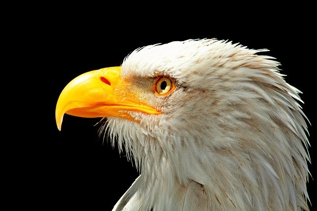 Adler, Bald Eagle, Raptor, Bird, Bird Of Prey, Bill