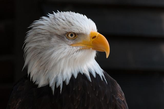Bald Eagles, Bald Eagle, Bird Of Prey, Adler, Raptor