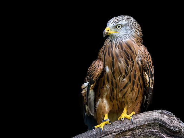 Raptor, Red Kite, Bird, Milan, Feather, Animal