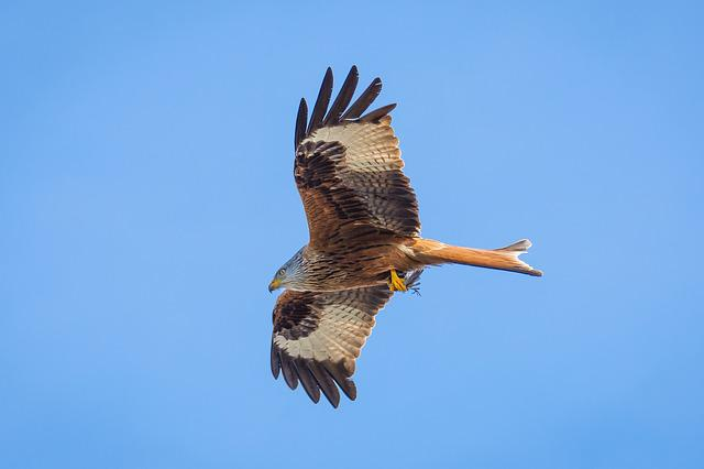 Milan, Bird, Bird Of Prey, Raptor, Wildlife Photography