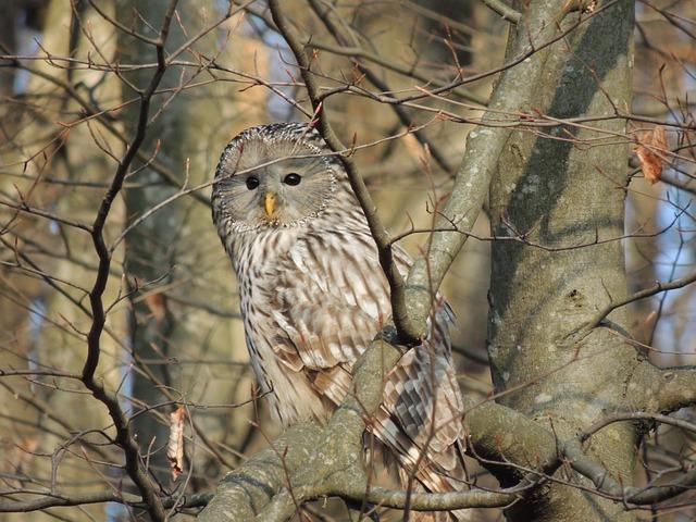 Andriy, Owl, Birds, Raptor, Camouflage