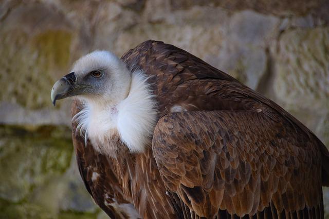 Vulture, Black Vulture, Raptor, Bird Of Prey, Bird