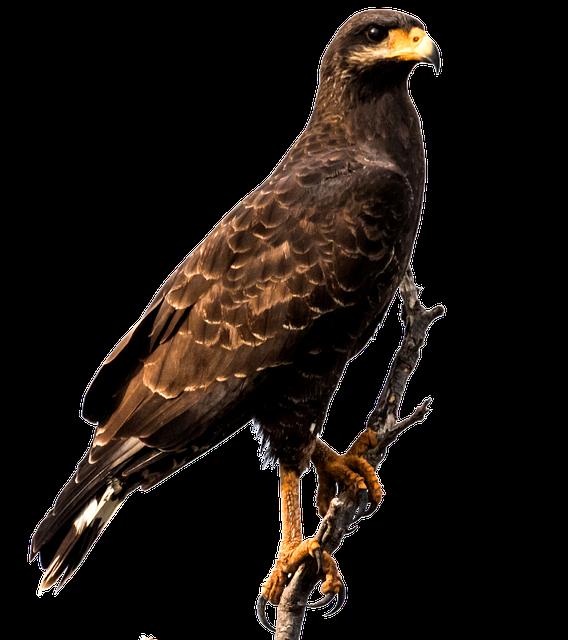 Eagle, Cuba, Bird, Raptor, Caribbean, Predator
