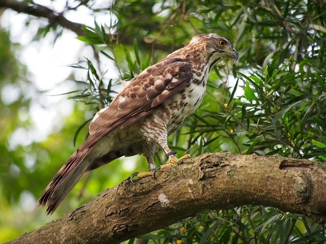 Fung Head Goshawk, Eagles, Raptor, Carnivorous