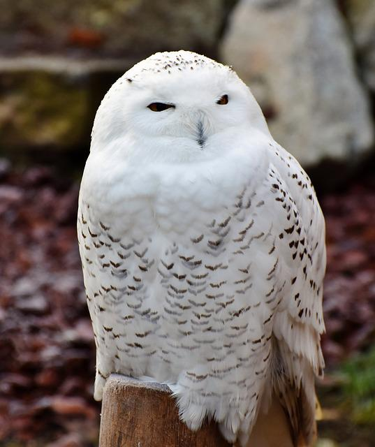 Snowy Owl, Owl, Plumage, White, Bird, Feather, Raptor
