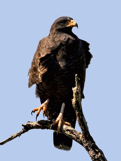 Raptor, Eagle, Bird, Hawk, Falcon, Wildlife, Nature