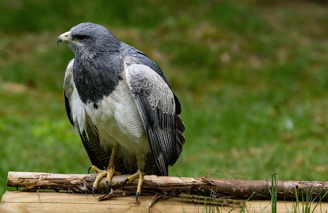 Buzzard, Bird, Raptor, Bird Of Prey, Nature, Animal