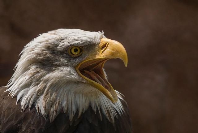 Adler, White Head, Bird Of Prey, Bald-eagle, Raptor