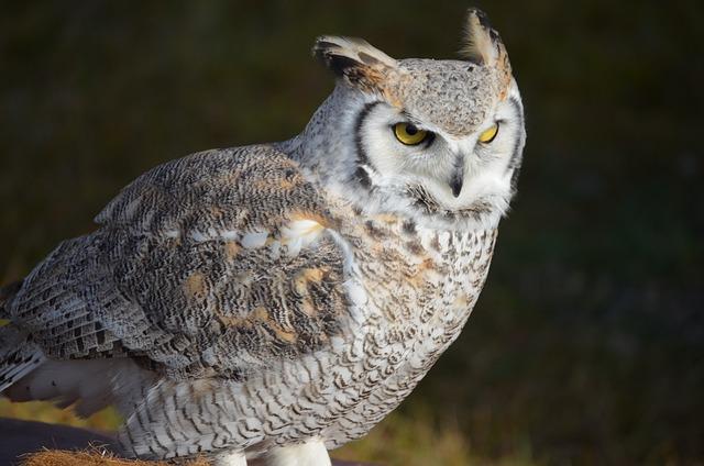 Snowy Owl, Owl, Eagle Owl, Bird, White, Raptor