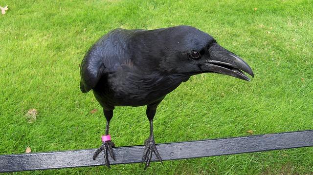 Crow, Raptors, Birds