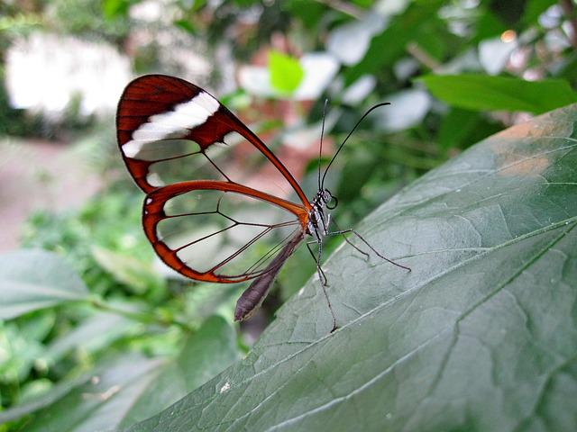 Butterfly, Glass Wing-butterfly, Haetera Piera, Rarely