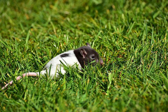 Rat, Baby, Baby Rats, Black And White, Small, Cute