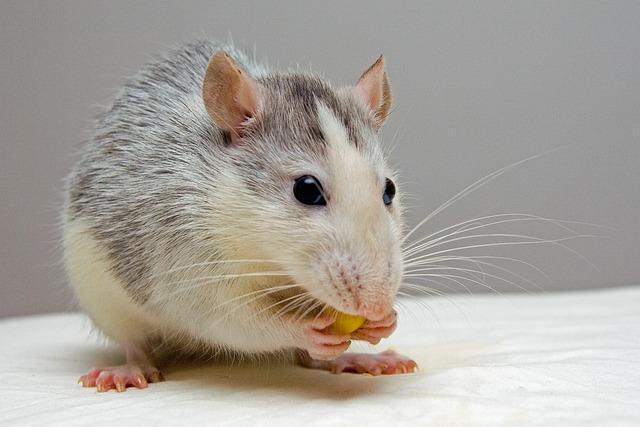 Rat, Pets, Eat