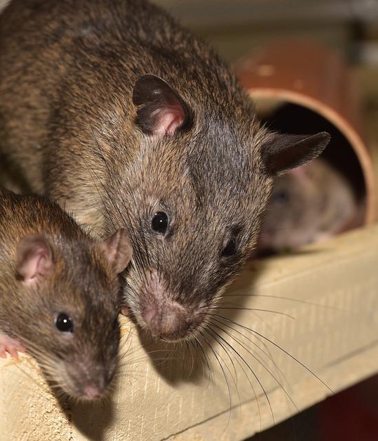 Rat, Color Rat, Rodent, Animal, Mammal, Ears, Head, Fur