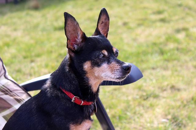 Miniature Pinscher, Ratlers, Dog House, Animals