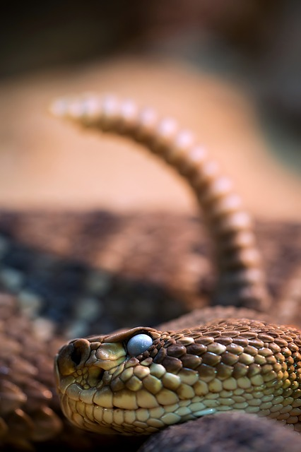 Snake, Snakehead, Rattle, Venomous Snake, Close