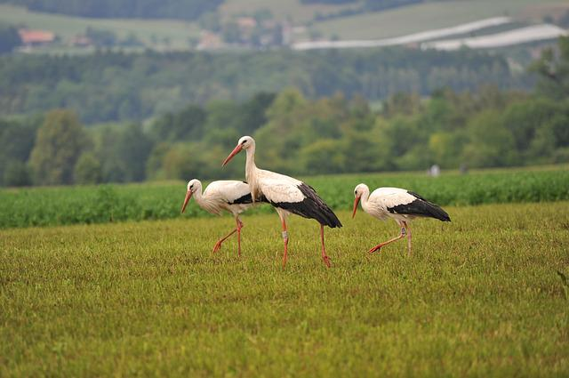 Storks, Bird, Stork, Birds, Animals, Rattle Stork